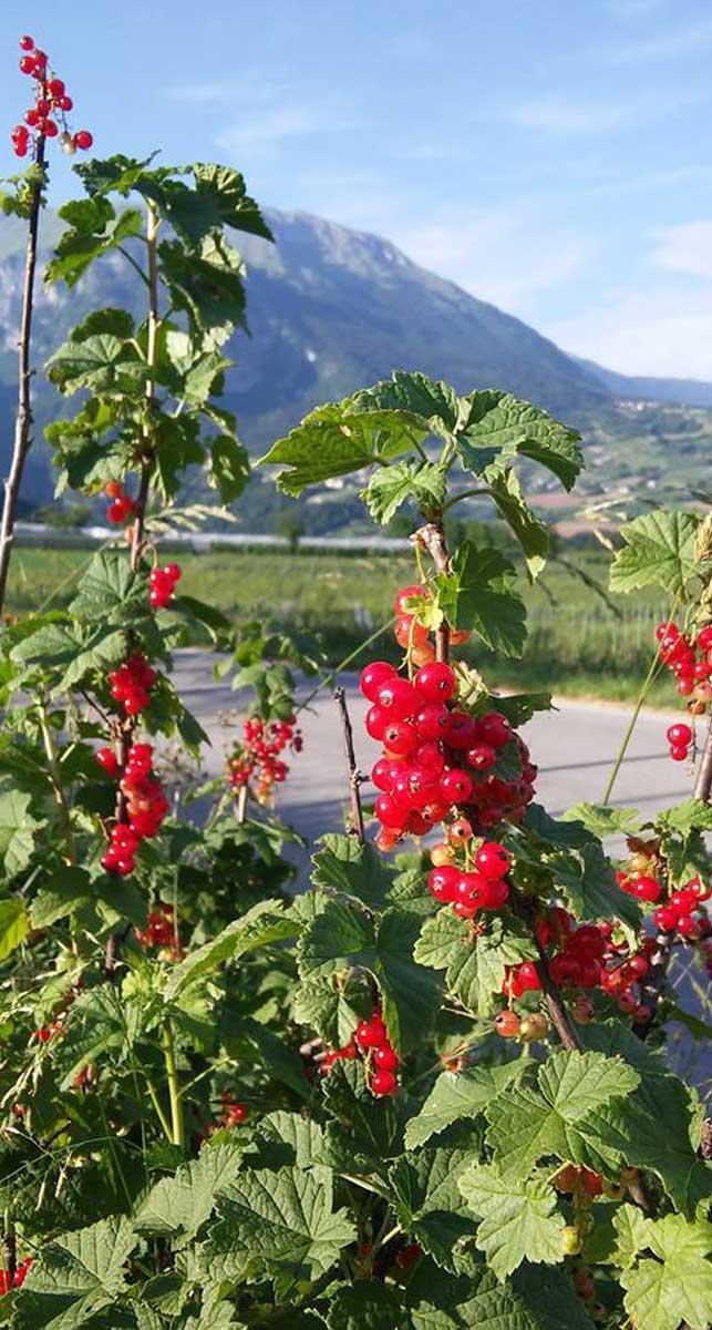 frutti rossi dell'azienda agricola san antonio